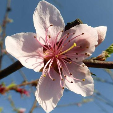 Nectarine blossom is lovely but we haven't have had any edible fruit yet - need to treat somehow