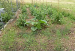 second asparagus bed with tomatoes