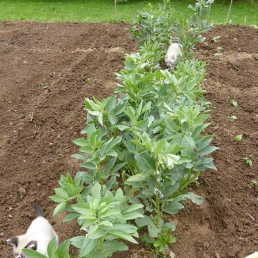 cats in the broadbeans