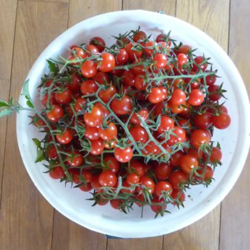 crazy crazy lovely tomatoes