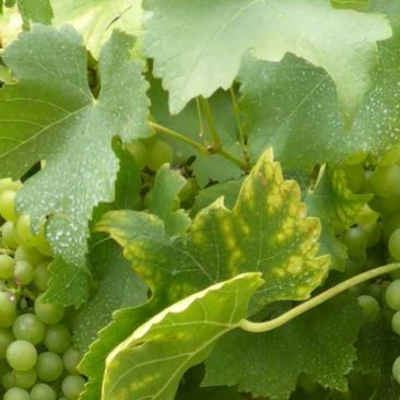 Grapes on the vine against the house