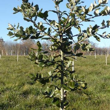 One of the oaks in the truffle plantation looking particularly healthy