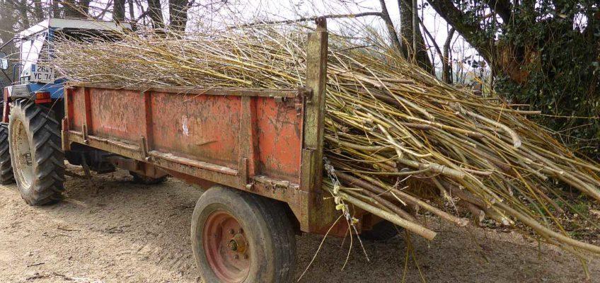Willow prunings