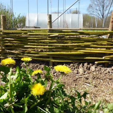 garden wattle